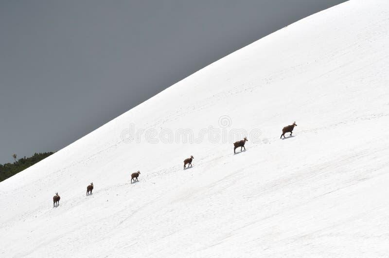 Gemzen in de sneeuw royalty-vrije stock afbeelding