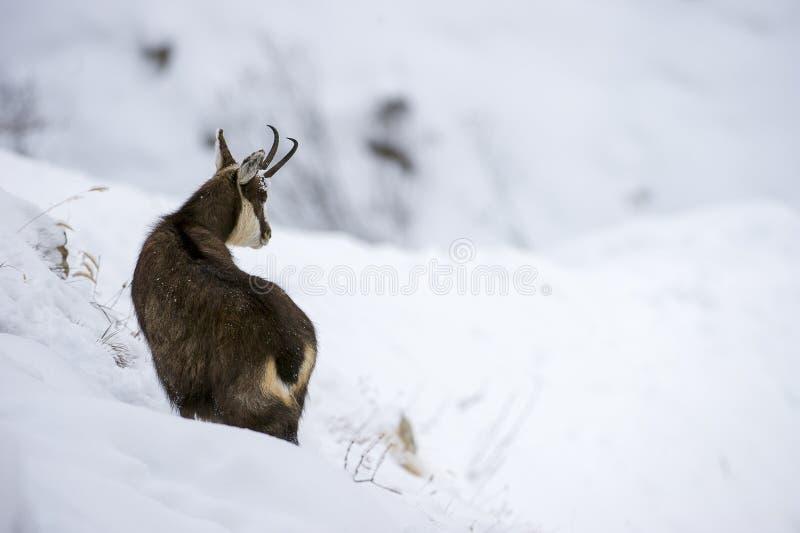 Gemzen in de sneeuw van de alpen stock foto's