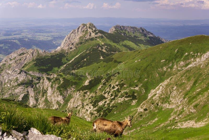 Gemzen op de achtergrond van Giewont De bergen van Tatra polen royalty-vrije stock fotografie