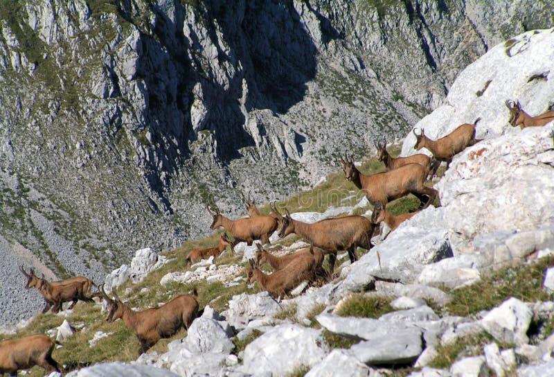 Gemzen op de bergen royalty-vrije stock foto's