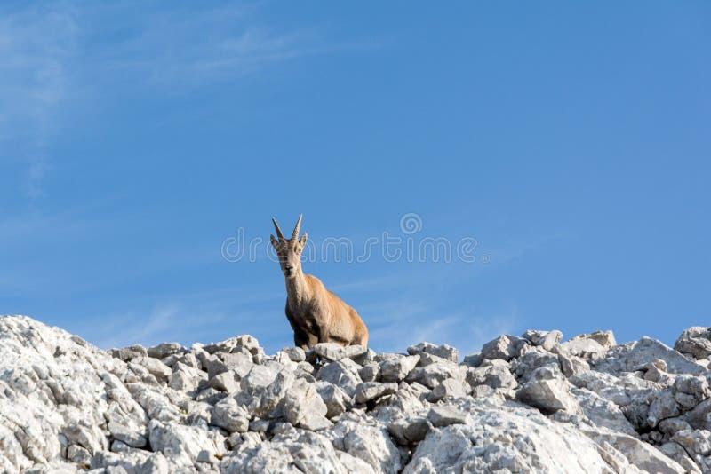 Gemzen op rots, in de zomertijd stock fotografie