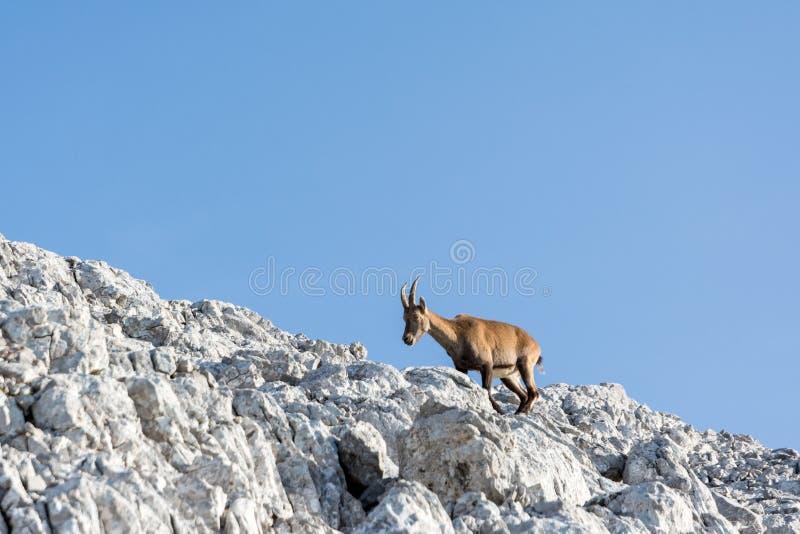Gemzen op rots, in de zomertijd stock foto's