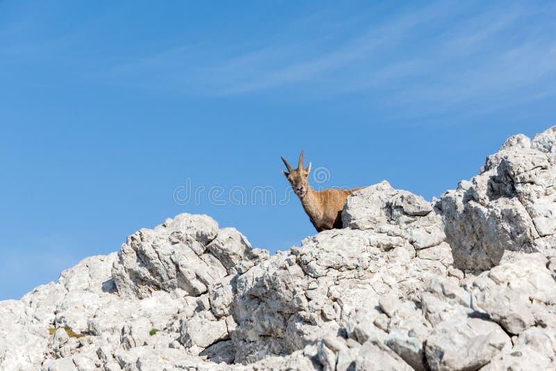Gemzen op rots, in de zomertijd stock foto