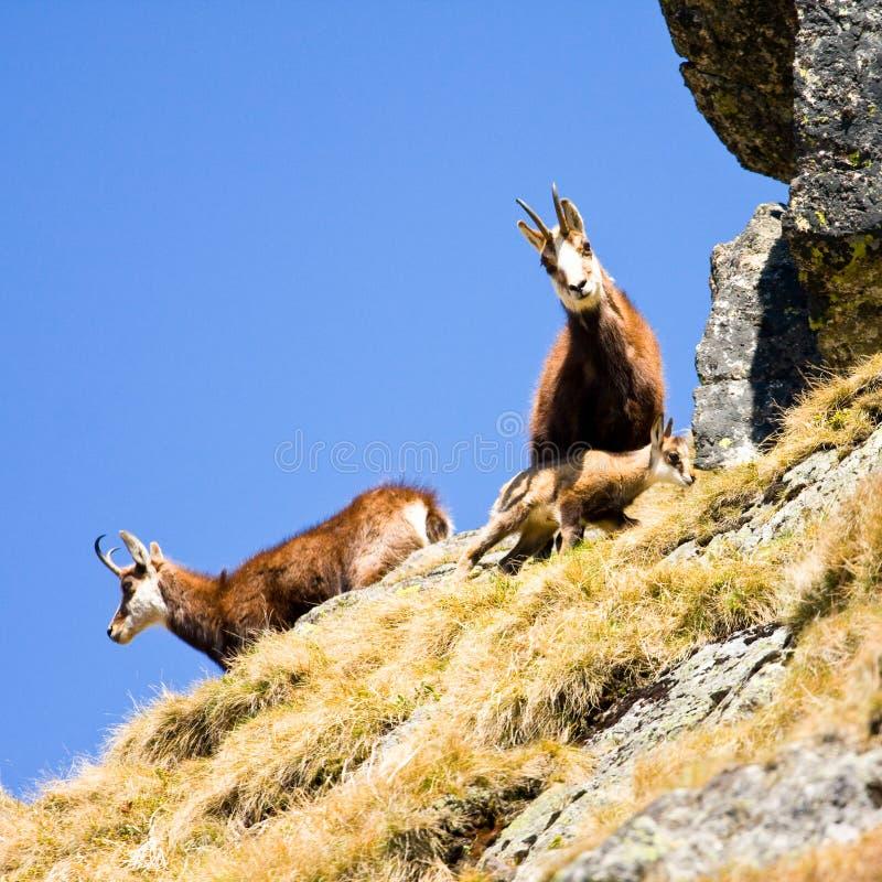 Gemzen (Rupicapra Carpatica) in berg Hoge Tatras, Polen stock foto