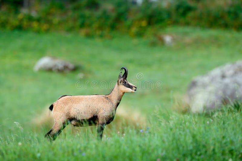 Gemzen, Rupicapra-rupicapra, in het groene gras, grijze rots op achtergrond, Gran Paradiso, Italië Gehoornd dier in de Alp stock afbeeldingen