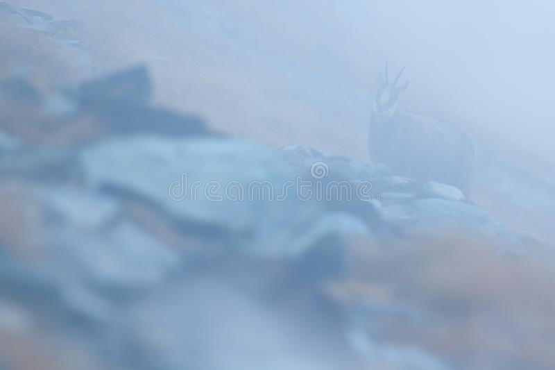 Gemzen, Rupicapra-rupicapra, met mist op de rotsachtige heuvel met de herfstgras, berg in Gran Paradiso, Italië Het wildscène in  royalty-vrije stock foto