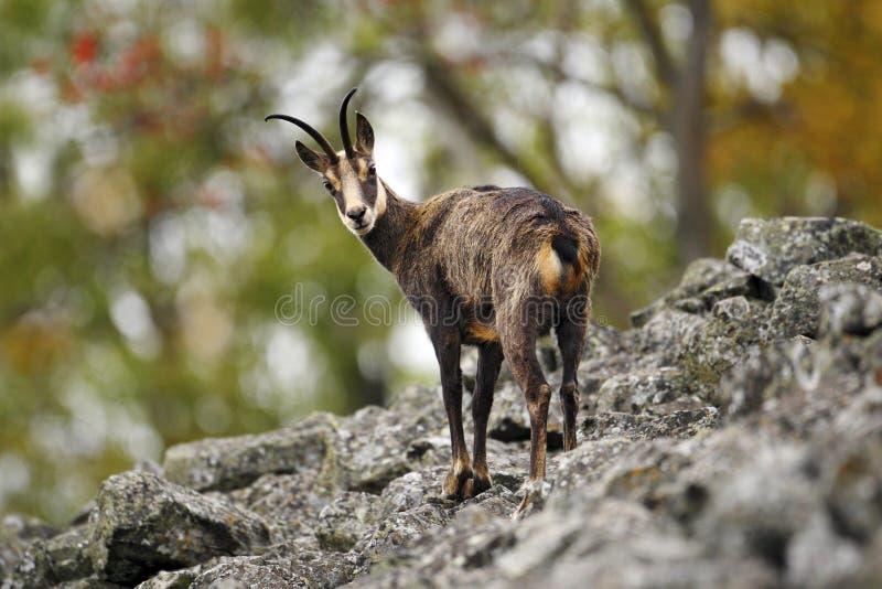 Gemzen, Rupicapra-rupicapra, op de rotsachtige heuvel, bos op achtergrond, Studenec-heuvel, Tsjechische Republiek Het wildscène m royalty-vrije stock foto's