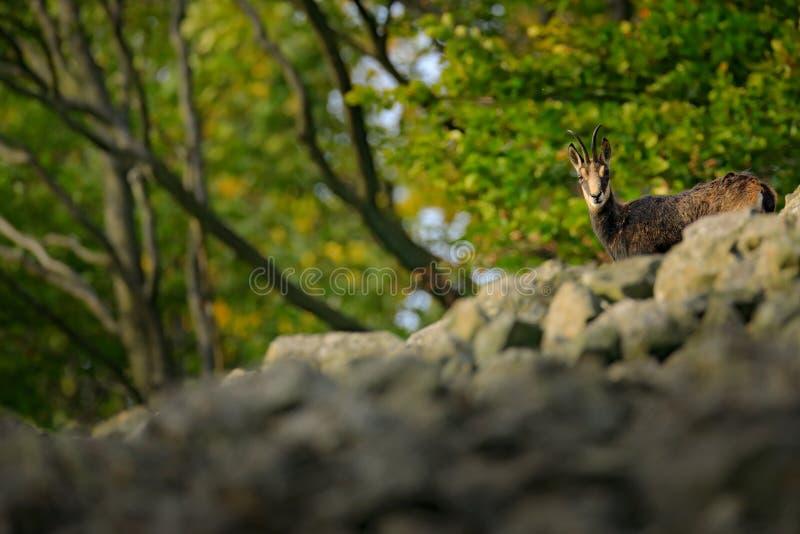 Gemzen, Rupicapra-rupicapra, op de rotsachtige heuvel, bos op achtergrond, Studenec-heuvel, Tsjechische Republiek Het wildscène m royalty-vrije stock foto