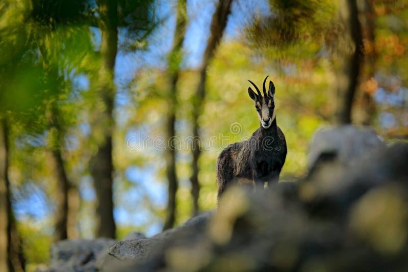 Gemzen, Rupicapra-rupicapra, op de rotsachtige heuvel, bos op achtergrond, Studenec-heuvel, Tsjechische Republiek Het wildscène m stock afbeeldingen