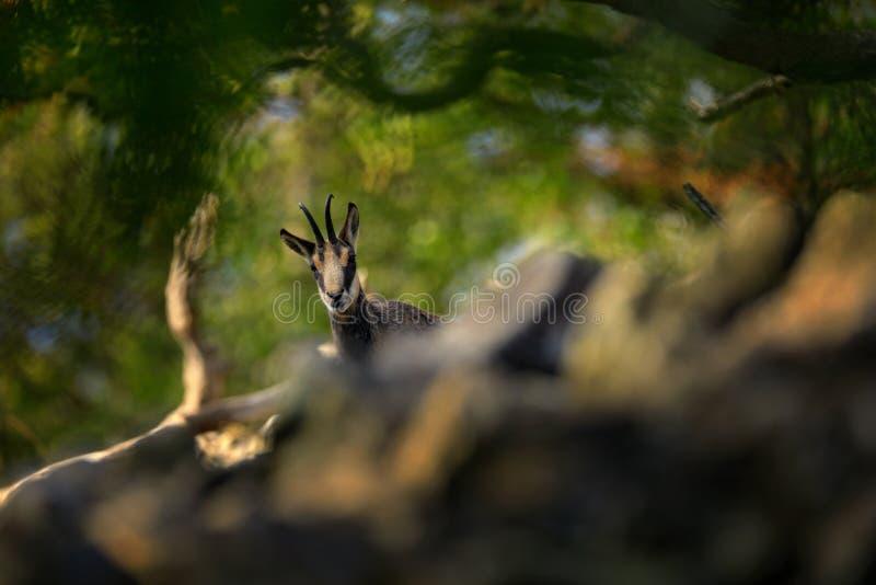 Gemzen, Rupicapra-rupicapra, op de rotsachtige heuvel, bos op achtergrond, Studenec-heuvel, Tsjechische Republiek Het wildscène m stock afbeelding