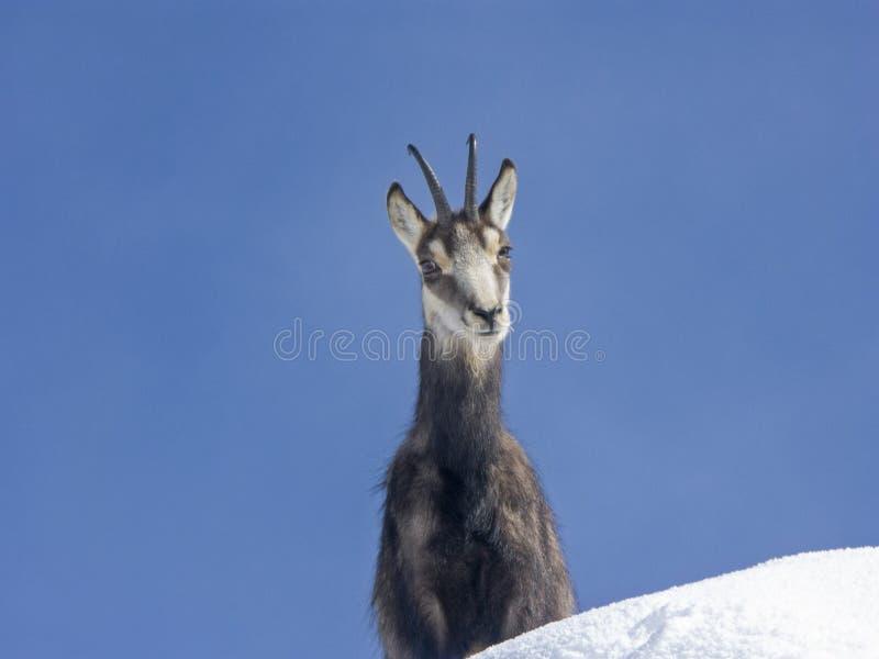 Gemzen in sneeuw in de winter royalty-vrije stock afbeelding