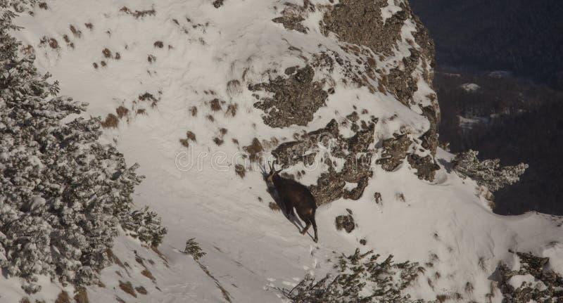 Gemzen wild dier in de berg stock afbeelding