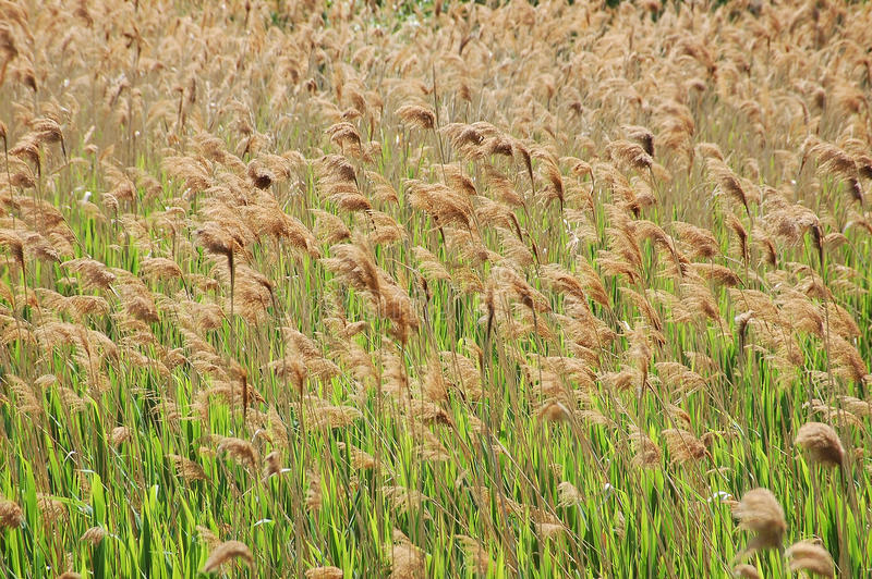 Gen de Reed Scirpus spinney fotos de stock