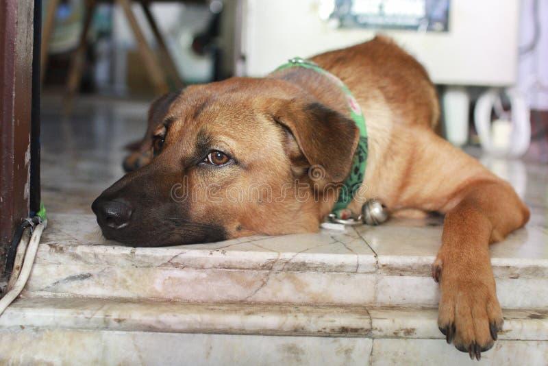 Gen del perro casero tailandés fotografía de archivo libre de regalías