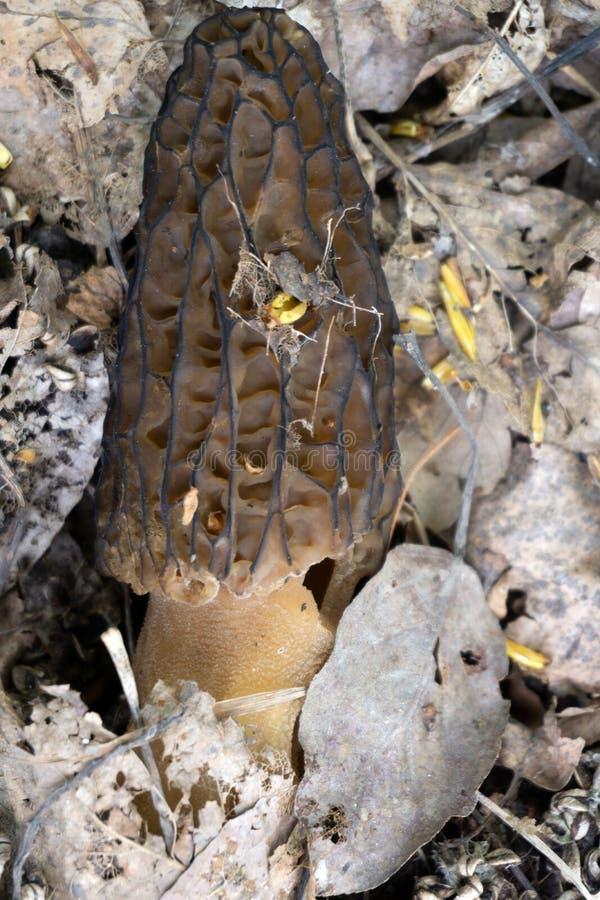 Gen do Morchella do cogumelo do Morel na maca da floresta imagens de stock