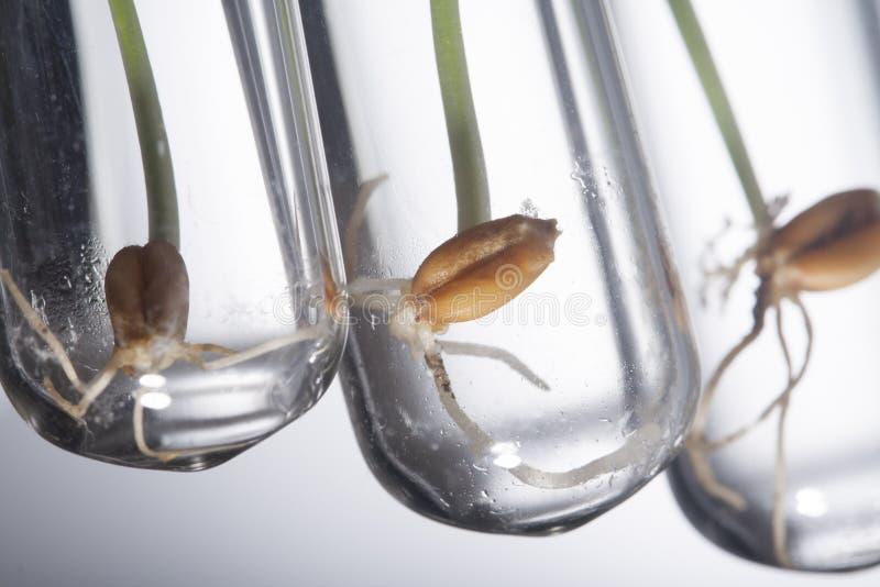 Gen manipulierte Pflänzchen keimen im Reagenzglas, Weizengen lizenzfreies stockfoto