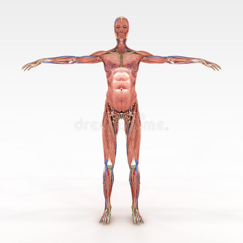 Genaue weibliche Anatomie stock abbildung. Illustration von gefäss ...