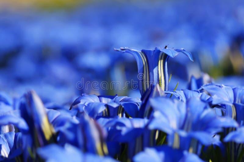 Genciana azuis imagem de stock