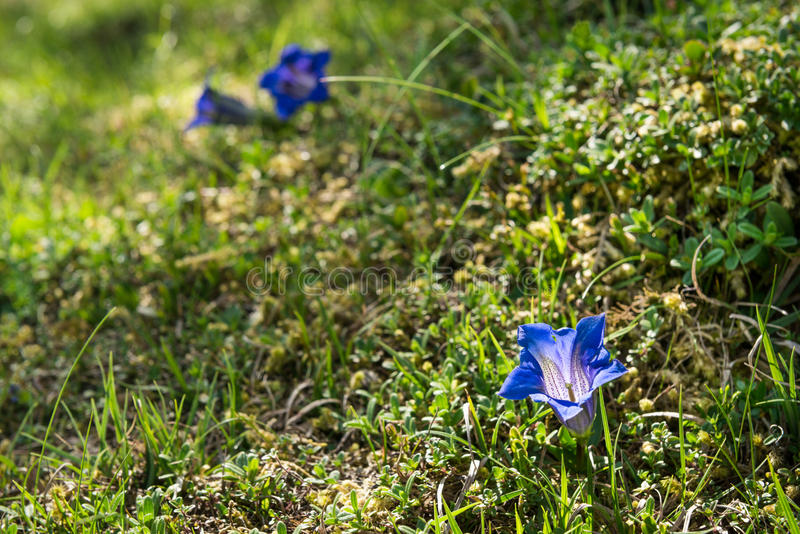 Genciana azul no campo alpino fotos de stock royalty free