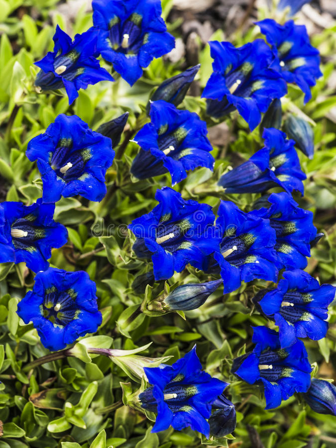 Genciana - muitas flores do azul foto de stock royalty free