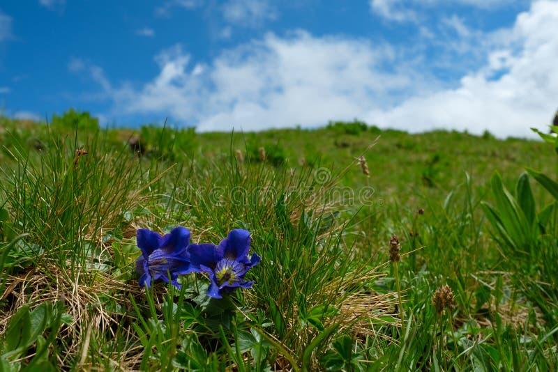 Gencjana Gentiana clusii z błękitnym kwiatem na zielonym alp obraz royalty free
