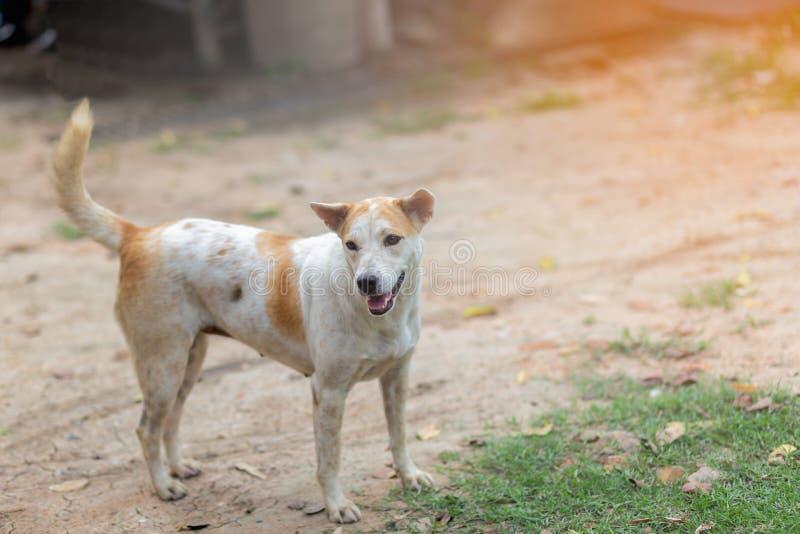 Gene Dog tailandese fotografie stock