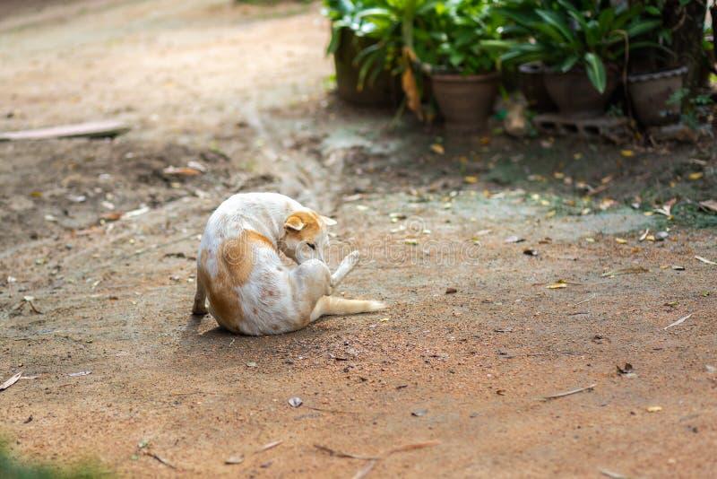 Gene Dog tailandese immagini stock