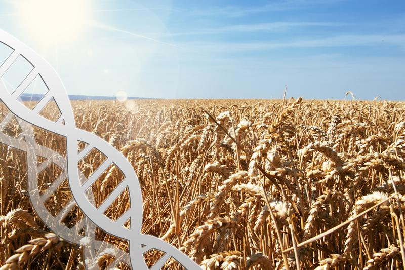 Gene editing, dna helix at wheat field stock photography