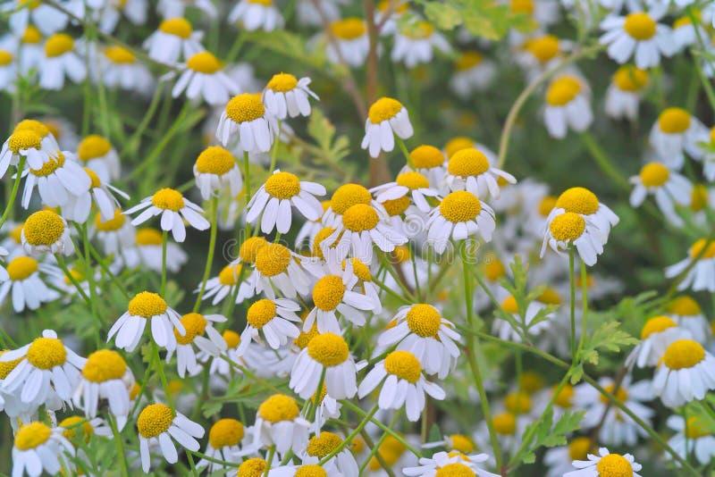 Geneeskrachtige installatie feverfew met vele bloemen in een bed stock afbeelding