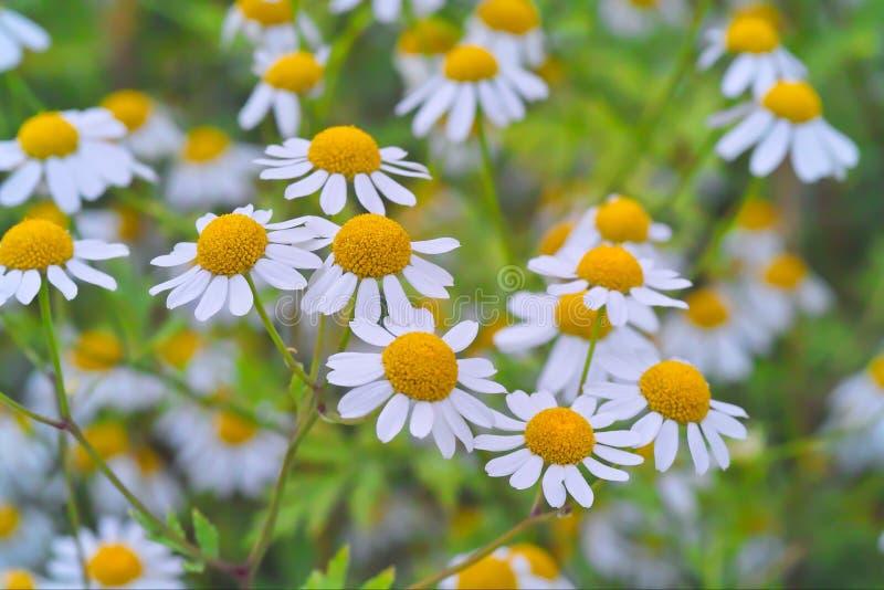 Geneeskrachtige installatie feverfew met vele bloemen in een bed royalty-vrije stock afbeeldingen