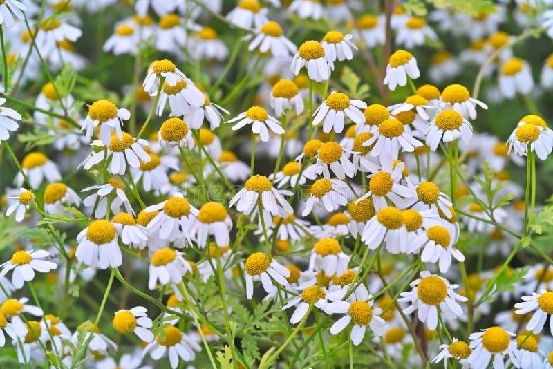 Geneeskrachtige installatie feverfew met vele bloemen in een bed stock foto's