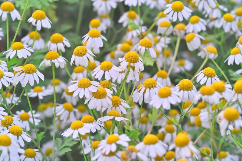 Geneeskrachtige installatie feverfew met vele bloemen in een bed royalty-vrije stock fotografie