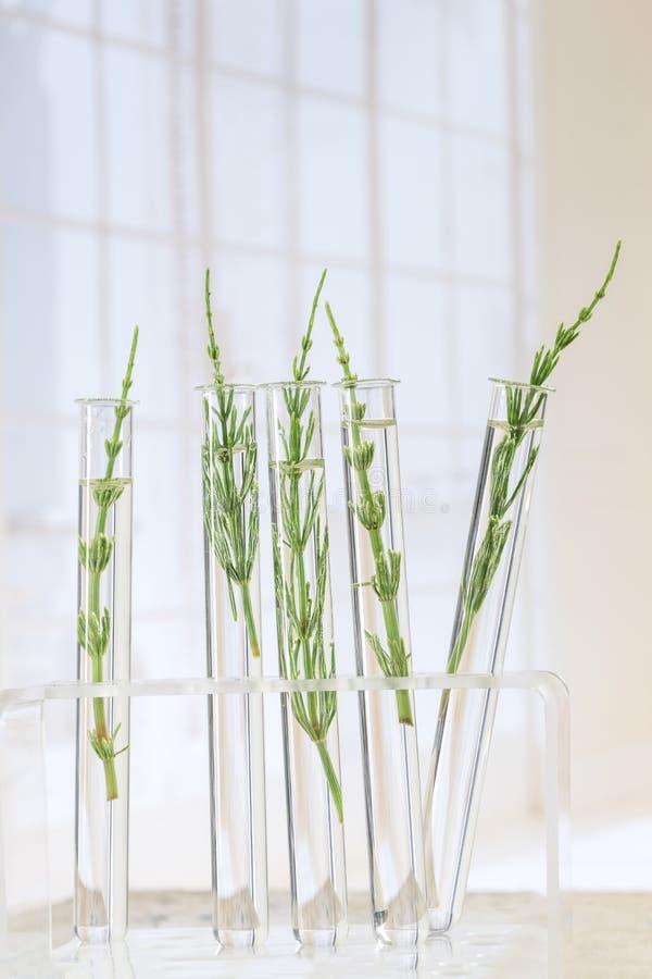 Geneeskrachtige installatiehorsetail in reageerbuizen stock afbeeldingen