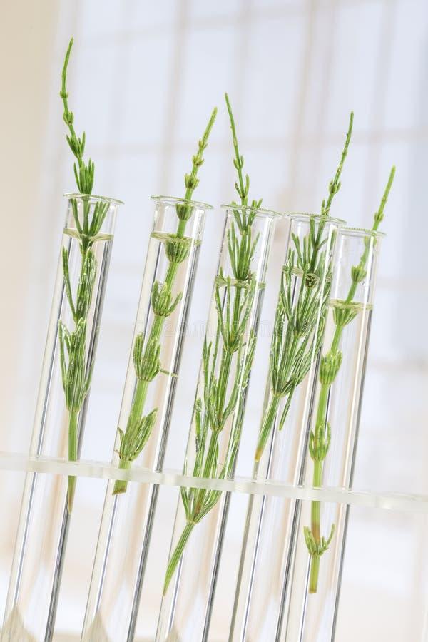 Geneeskrachtige installatiehorsetail in reageerbuizen stock foto