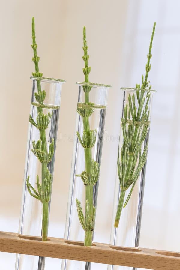 Geneeskrachtige installatiehorsetail in reageerbuizen stock fotografie
