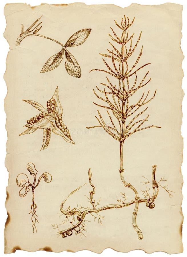 Geneeskrachtige kruiden royalty-vrije illustratie