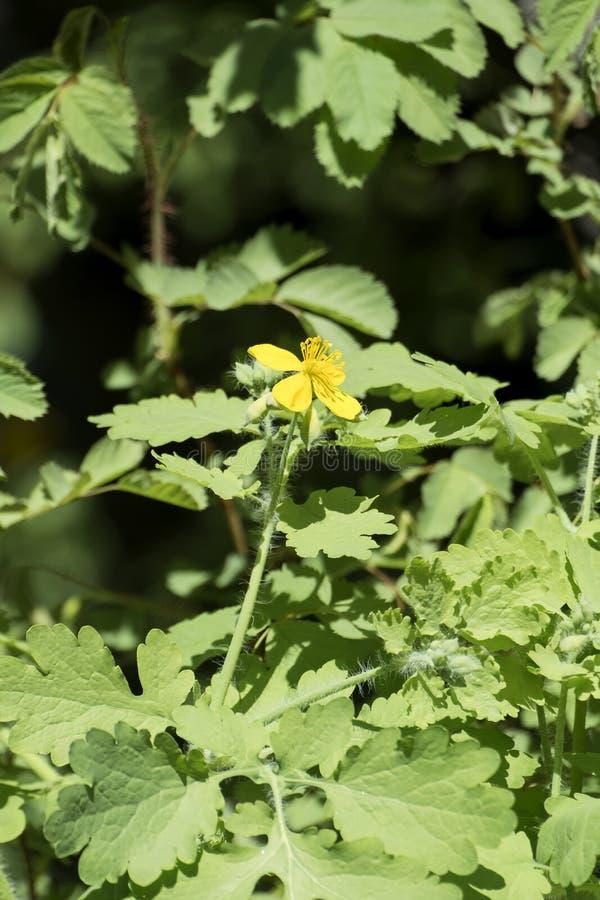 Geneeskrachtige kruiden: Gele bloem en bladeren van grotere celandine stock foto's