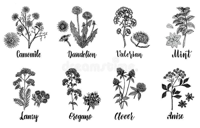 Geneeskrachtige kruiden Hand getrokken botanische vectorillustratiereeks royalty-vrije illustratie