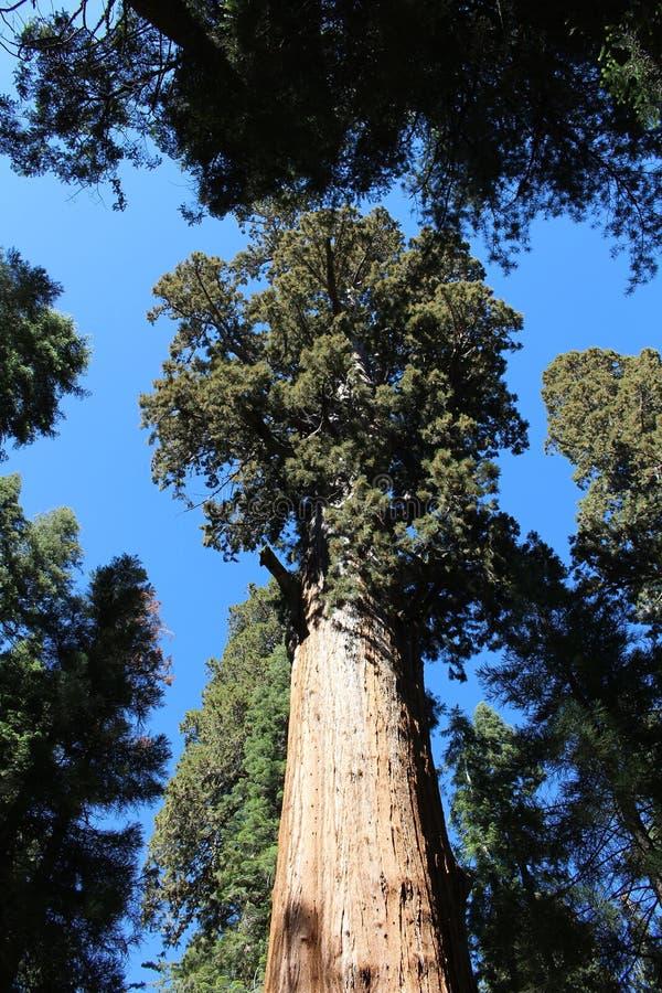 Generał Sherman Drzewo, sekwoja park narodowy zdjęcie stock