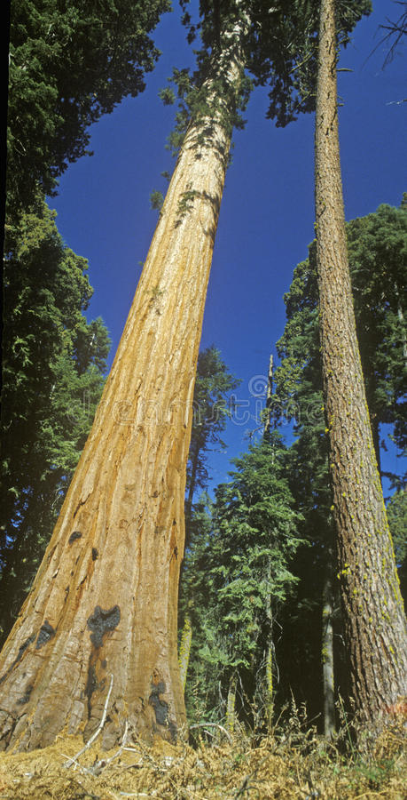 Download Generał Sherman Drzewo zdjęcie stock. Obraz złożonej z punkt - 26261056