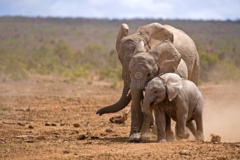 Generaciones del elefante imagenes de archivo