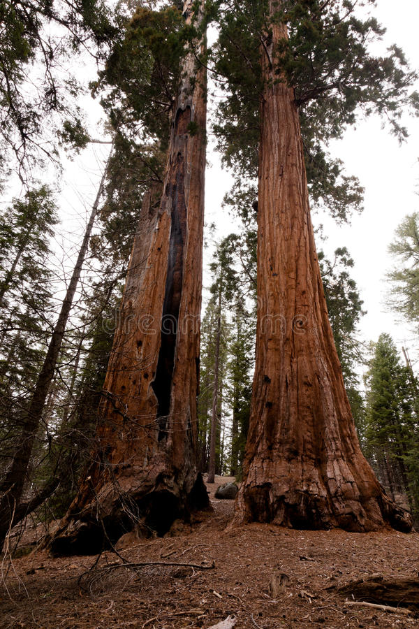 Download General Grant Grove stock photo. Image of bark, nevada - 23684458
