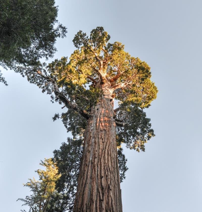General Grant Sequoia Tree, Nationalpark König-Canyon stockbild