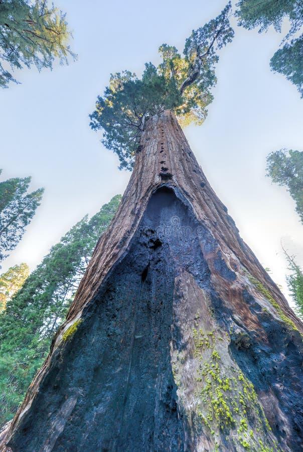 General Grant Sequoia Tree, parque nacional dos reis Garganta fotografia de stock royalty free