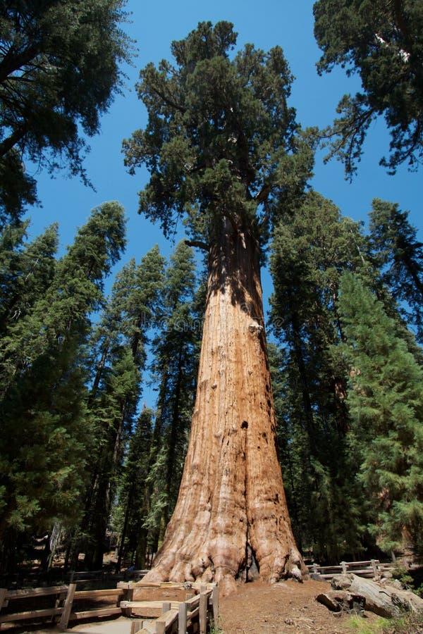 General Sherman Árvore Fotos de Stock Royalty Free