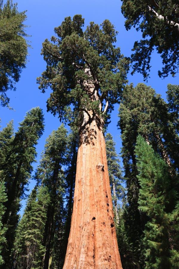 Free General Sherman (tree) Royalty Free Stock Photo - 17904265