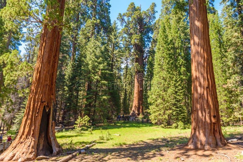 General Sherman Tree - der größte Baum auf Erde, riesiger Mammutbaum-Bäume im Mammutbaum-Nationalpark, Kalifornien, USA lizenzfreie stockbilder