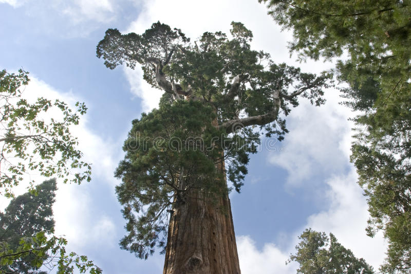 Download General Sequoia Tree stock photo. Image of thriving, mature - 15388536