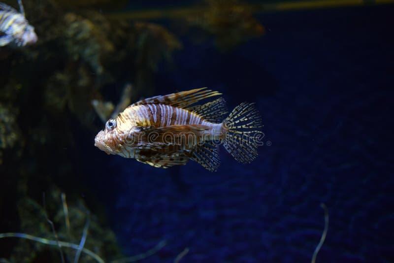 Genere Pterois del Lionfish del pesce di mare dentro l'acquario fotografia stock libera da diritti