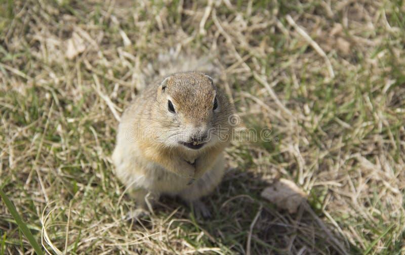 Genere roditori di gopher della famiglia dello scoiattolo fotografie stock libere da diritti